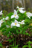 White Trillium — Stock Photo