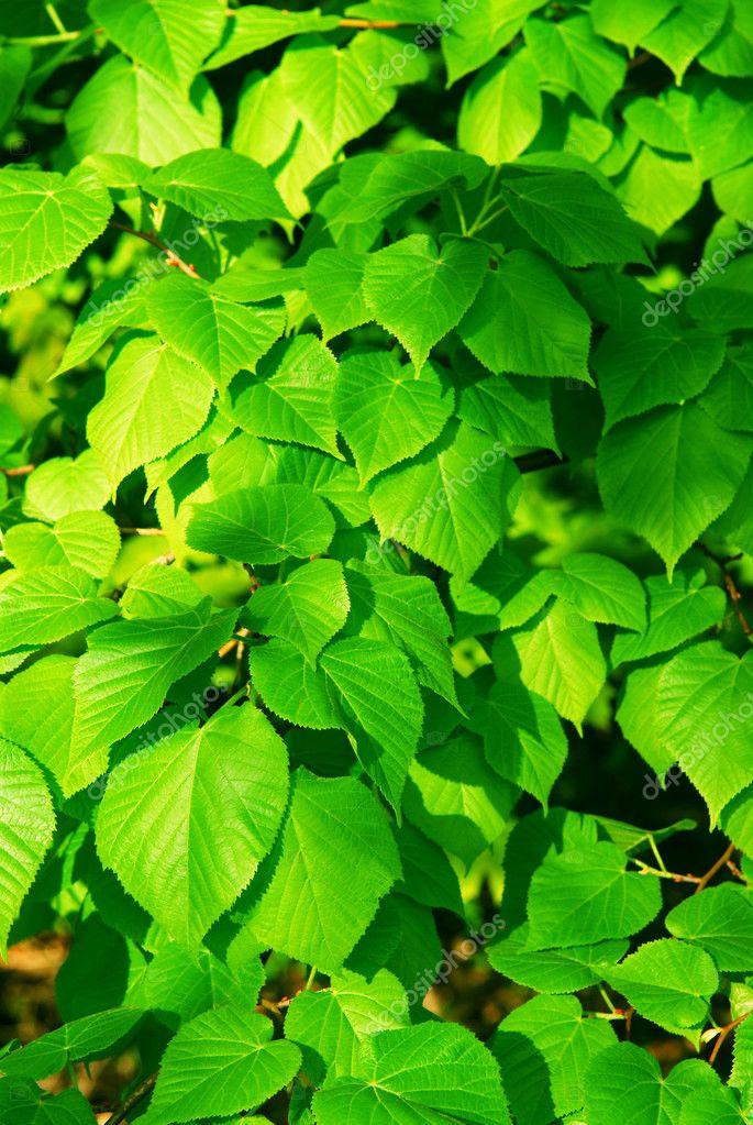 绿色的树叶 - 图库图片