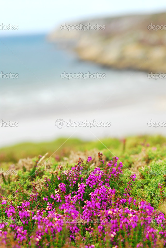 Heather blooming at the Atlantic ocean coast in Brittany, France — Stock Photo #4825070