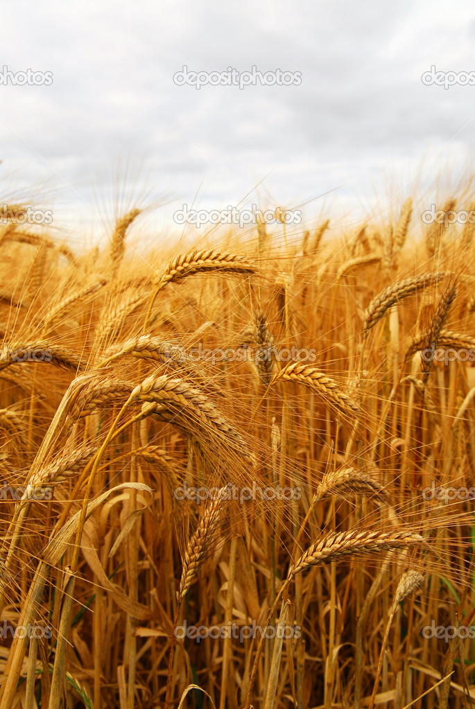 Golden wheat growing in a farm field  Stock Photo #4825889