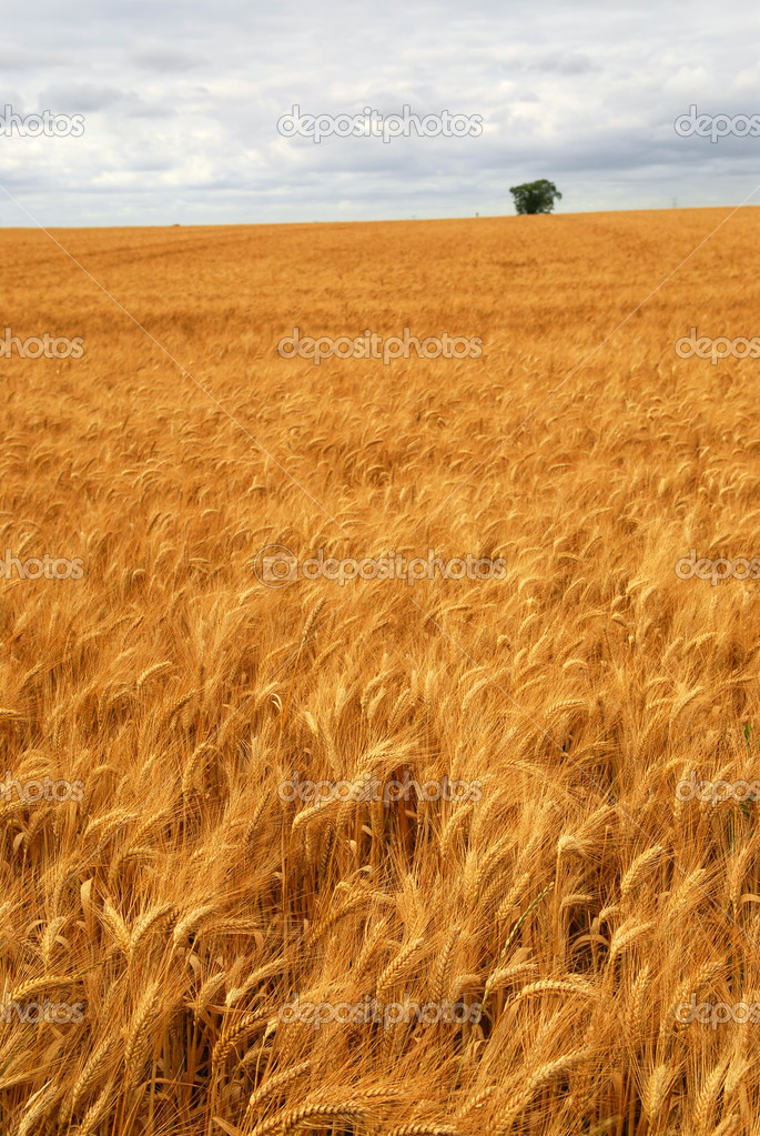 Agricultural landscape of golden wheat growing in a farm field — Stock Photo #4825893