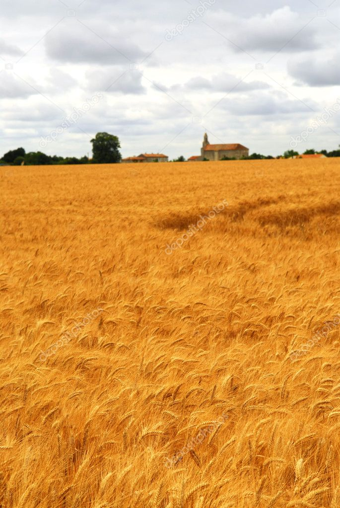 Agricultural landscape of golden wheat growing in a farm field — Stock Photo #4825895