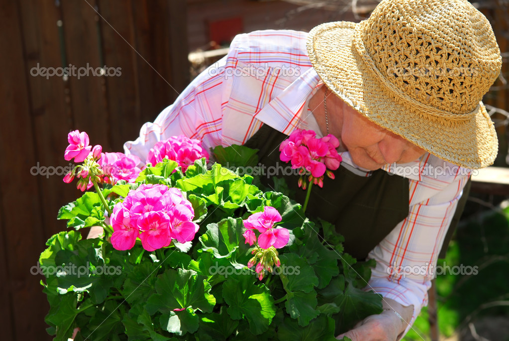 Senior woman with a pot of geranuim flowers in her garden, focus on flowers  Stock Photo #4826073