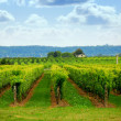 Vineyard — Stockfoto