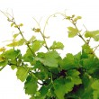 Grape vines — Stock Photo #4947421