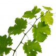 Grape vine — Stock Photo