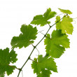 Stock Photo: Grape vine