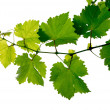 Foto de Stock  : Grape vine