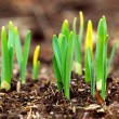 Spring shoots — Stock Photo
