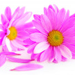 Pink flowers — Stock Photo #4947701