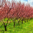 Fruit orchard — Stock Photo #4947735