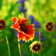 Indain blanket flowers - Stock Photo