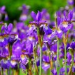 Irises — Stock Photo #4948011