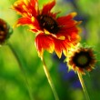 indain blanket flowers — Stock Photo