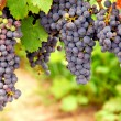 Red grapes — Stock Photo #4948122
