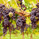 uvas vermelhas — Foto Stock
