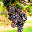 Red grapes — Stock Photo #4948126