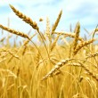 Grain field — Stock Photo #4948159