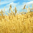 Royalty-Free Stock Photo: Grain field