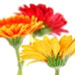 Gerbera flowers — Stock Photo #4948178