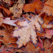 Frosty leaves — Stock Photo #4948258