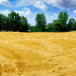 Harvested grain field — Stock Photo