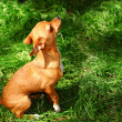Small dog - 