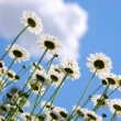 White daisies - Foto Stock