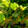 Grape vine branch — Stock Photo