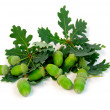 Acorns oak branches - Stock Photo