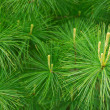 Pine needles — Stock Photo #4948986
