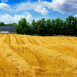 Stock Photo: Harvest grain field