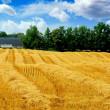 Harvest grain field — Stock Photo #4949209