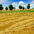 Harvest grain field — Stockfoto