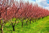 Fruit orchard — Stock Photo