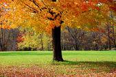 Maple tree — Zdjęcie stockowe