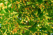 Blooming linden — Stock Photo