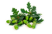 Acorns oak branches — Foto Stock