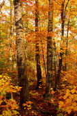 Fall forest — Stock Photo