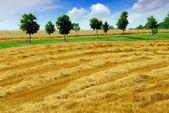 Harvest grain field — Stock Photo