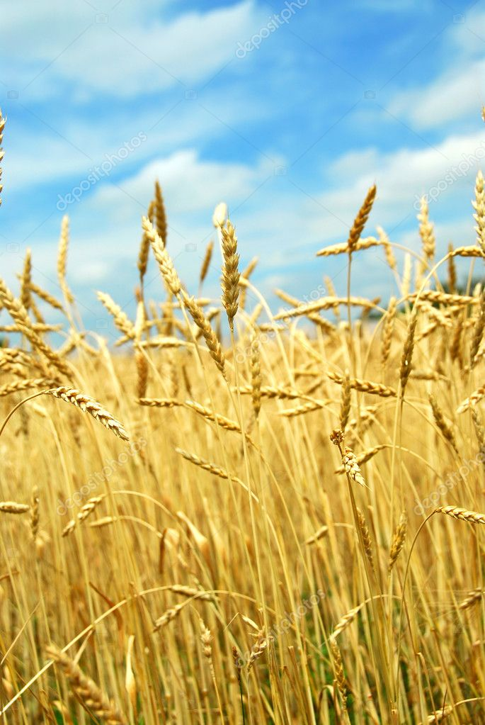 Yellow grain ready for harvest growing on a farm field  Stock Photo #4948161