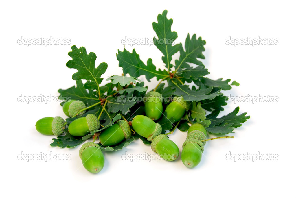 Acorns and oak branches on white background  Stock Photo #4948768
