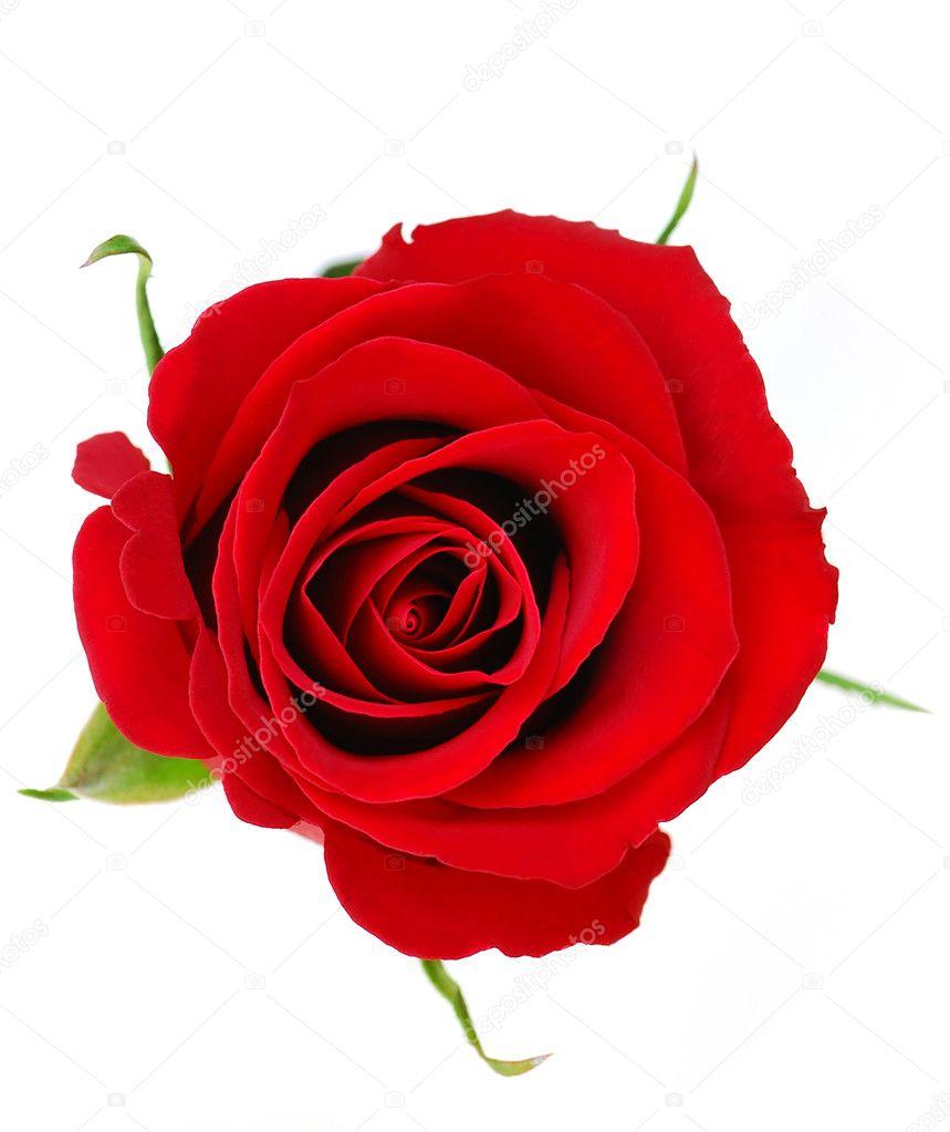 Цветы розы виды