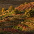 Stock Photo: Friuli vineyards at sunset