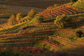 Friuli vineyards at sunset — Stock Photo
