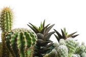 Bunch of cactus — Stock Photo