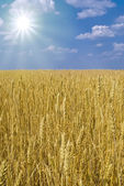 Boundless field of wheat — Stock Photo