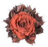 Fiore di polveroso tessile   Isolato — Foto Stock