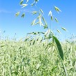 Stock Photo: Oat field