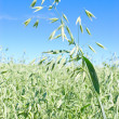 Oat field - Stock Photo
